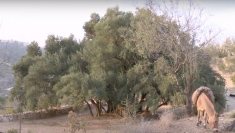 Palestine's oldest olive tree symbol of cultural heritage